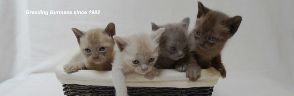 Suncoast Traditional Burmese Cats - HOME